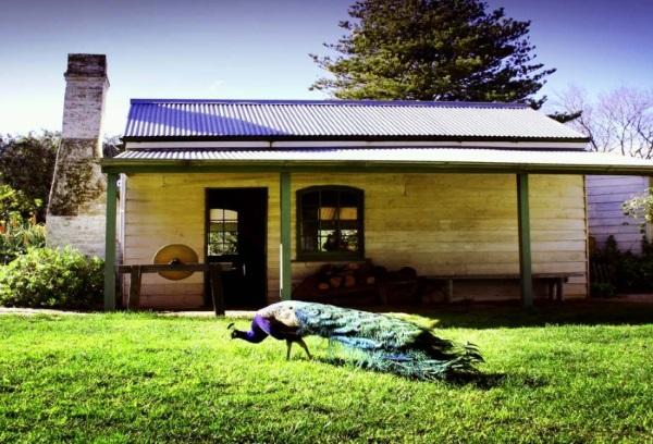 澳大利亚的美丽孔雀