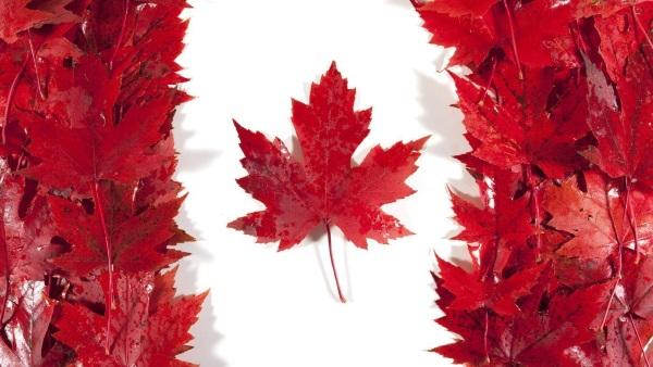 加拿大枫叶观赏