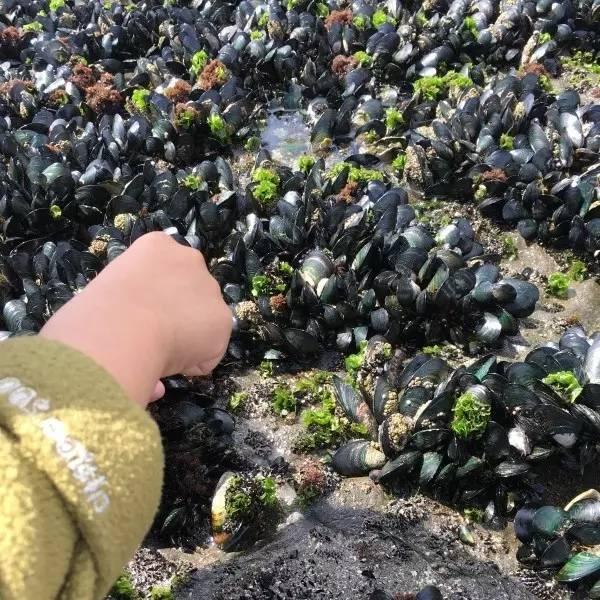 在新西兰的海滩挖野生青口