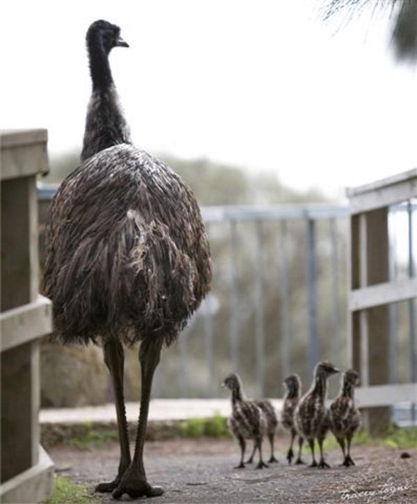 澳洲野生动物