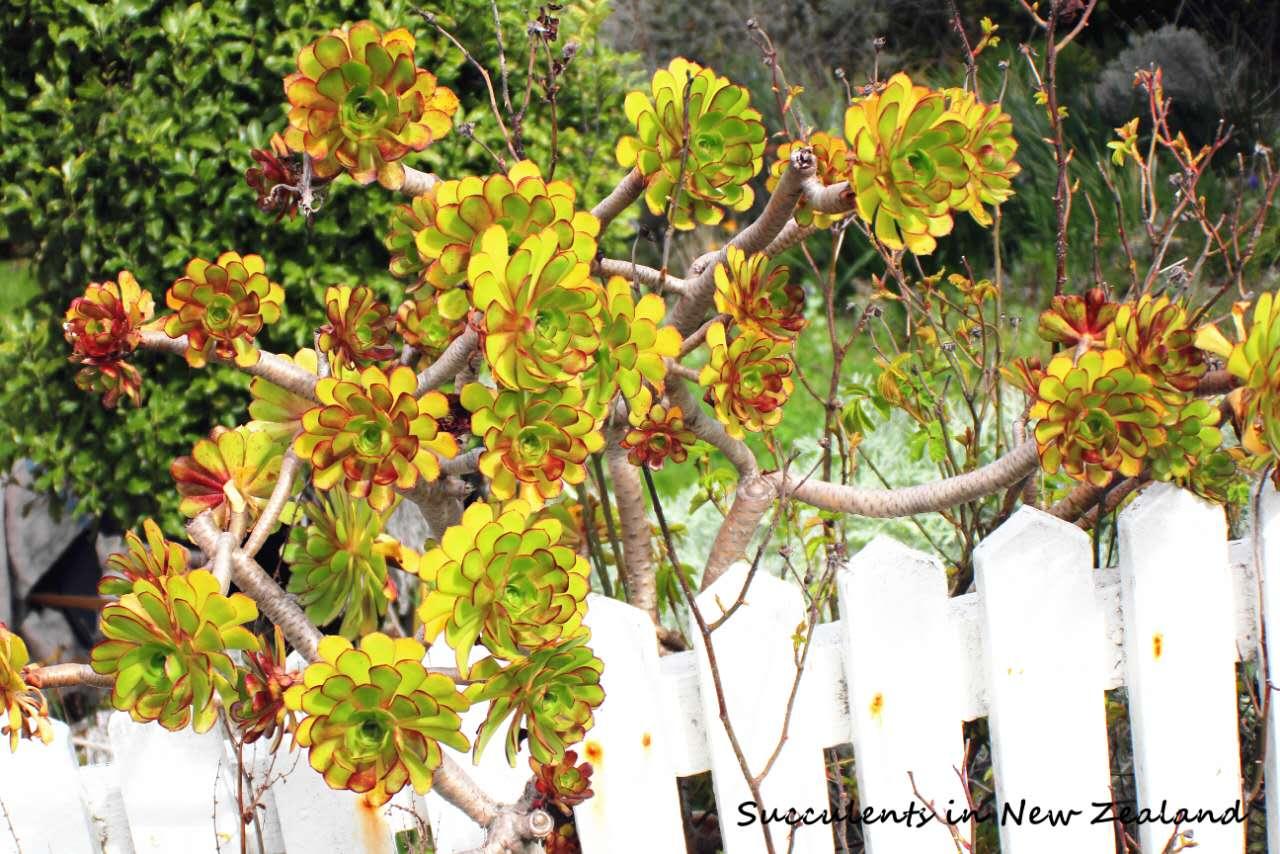 新西兰院落旁的野花