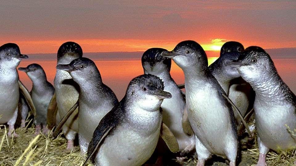 房车自驾-澳大利亚菲利普岛的呆萌企鹅