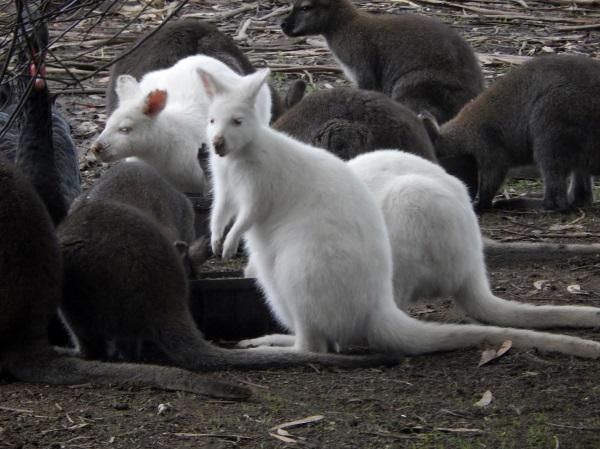 澳大利亚的白袋鼠