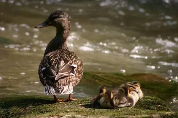 看鸭妈妈带着鸭宝宝们排排走