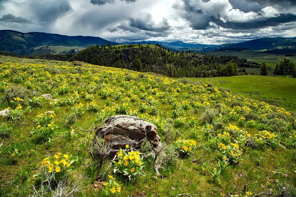 房车自驾美国黄石公园-漫山遍野的野花
