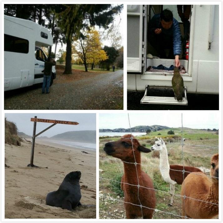 老人初次新西兰房车自驾游遇见的动物们