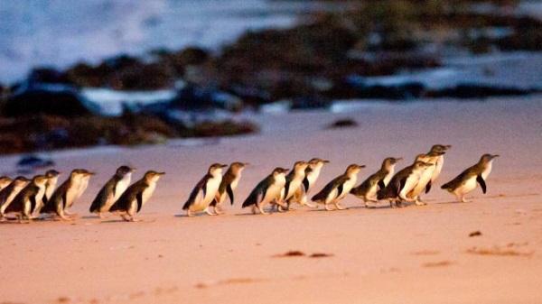 菲利普岛的小企鹅归巢
