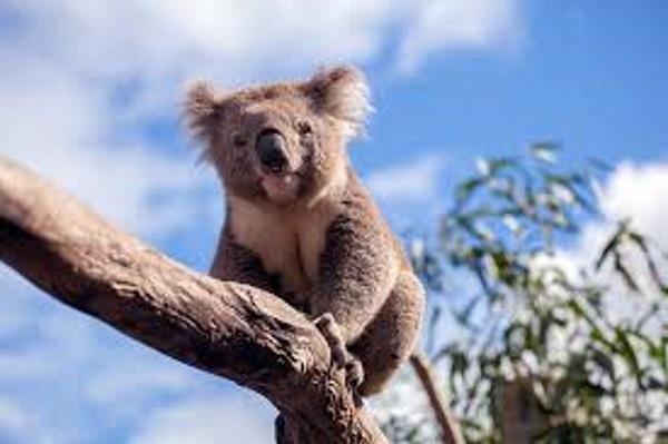 澳大利亚的可爱考拉