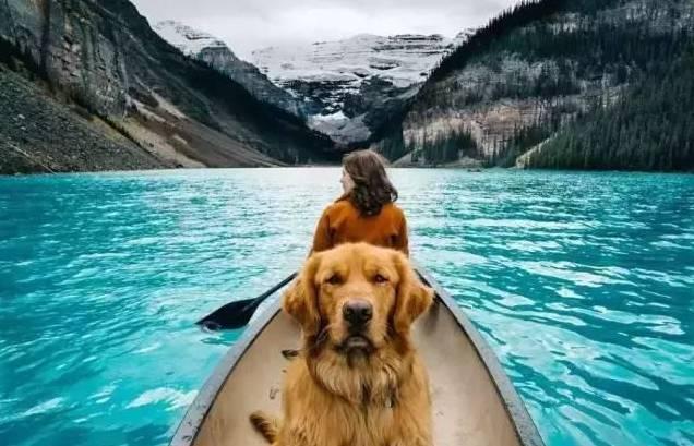 金毛犬Aspen