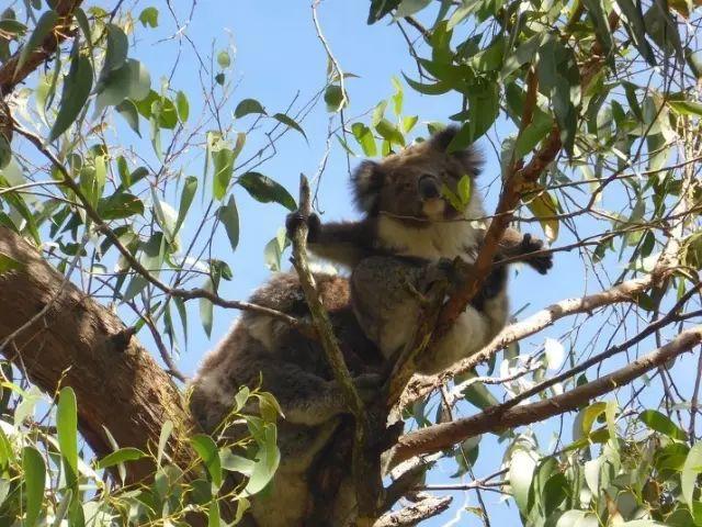 澳洲考拉树袋熊