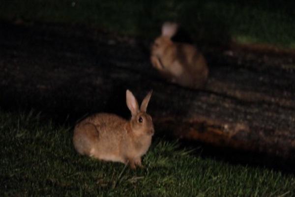 澳洲小兔子