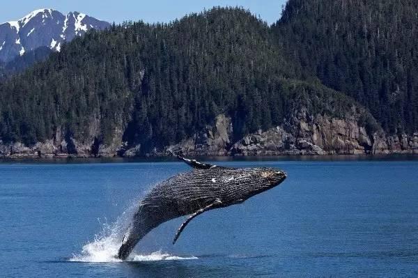 基奈峡湾国家公园观鲸