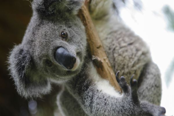 Experience cute Koalas when visiting Brisbane