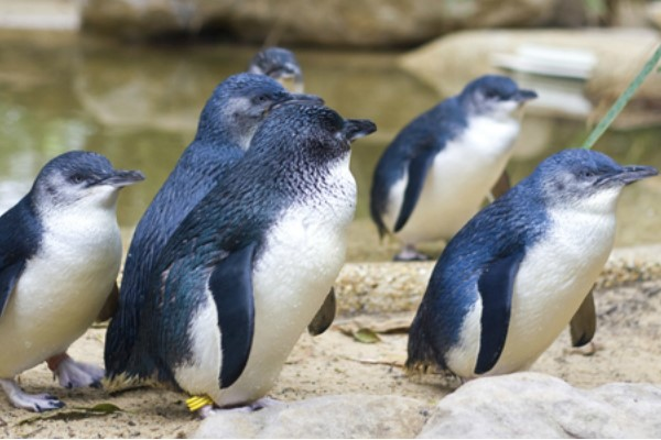 Little Blue Penguins waddle up the beach