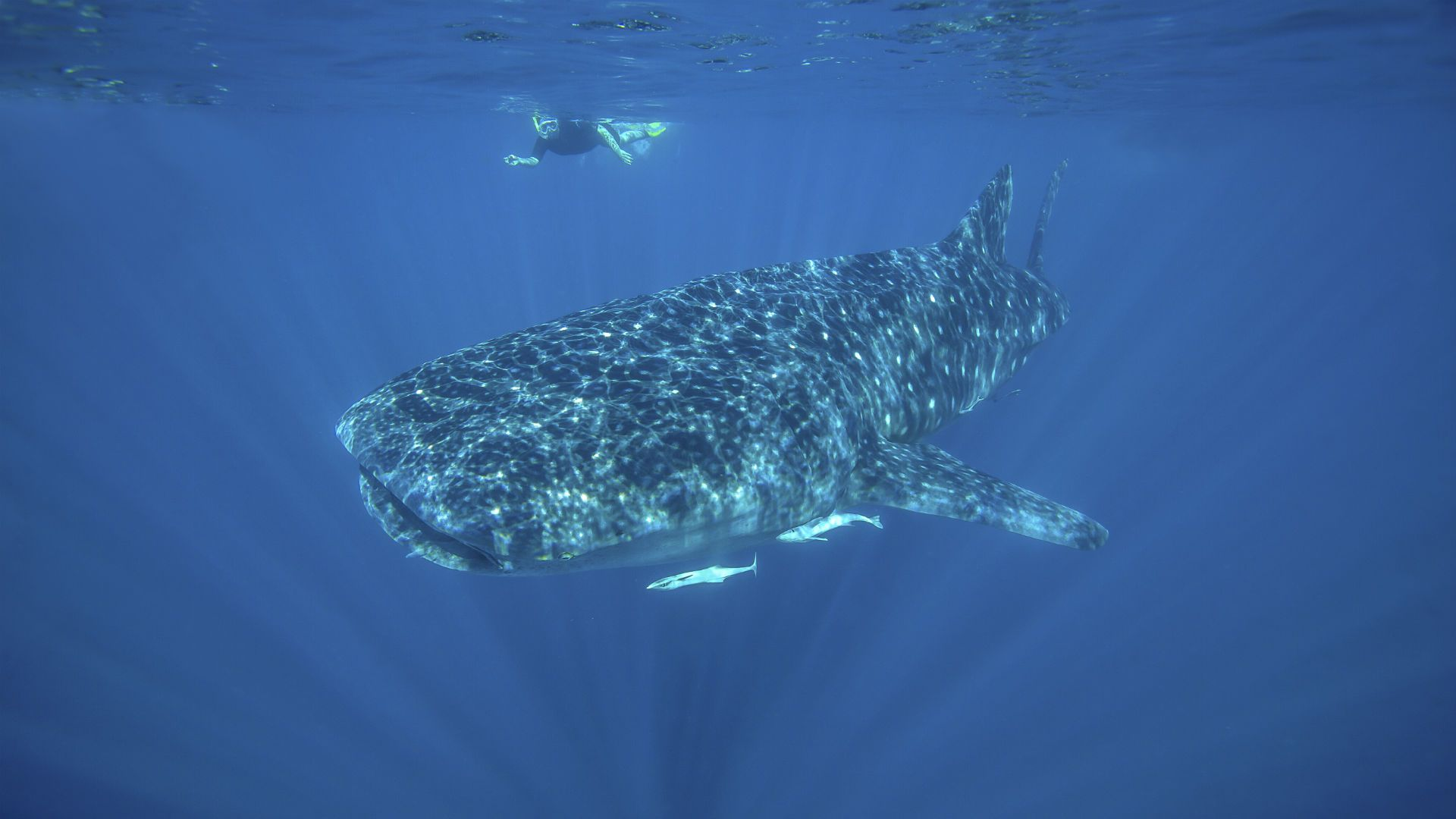There are few experiences as awe-inspiring as swimming with a giant whale shark.