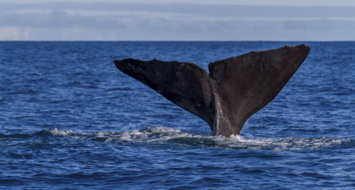Whale watching tasmania