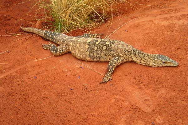 Take a trip to the Alice Springs Reptile Centre to see some of the Outback's scalier denizens.