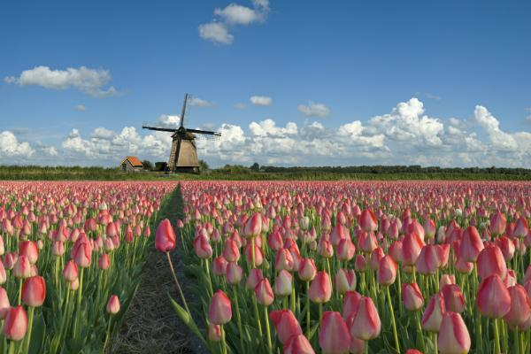 Springtime tulips abound just outside of Amsterdam