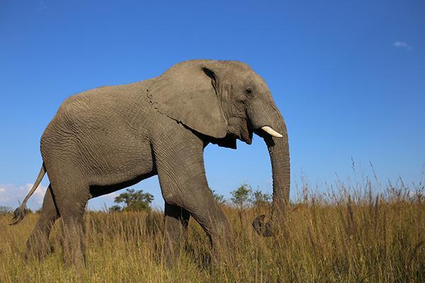 An elephant walks through the grass in Antelope Park Nature Reserve, Gweru, Zimbabwe