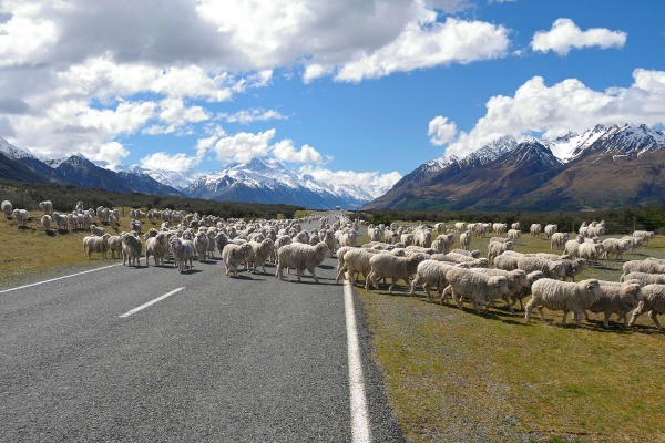New Zealand livestock on road