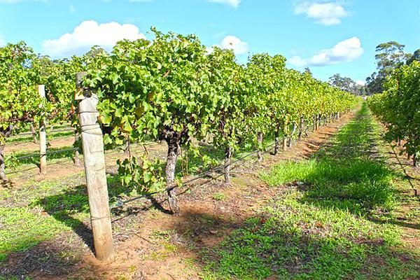Rows of grapes at a vineyard in Margaret River, Australia