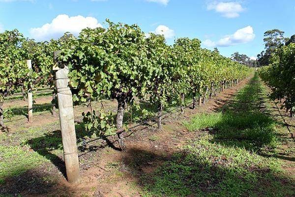 A lush vineyard in Margaret River, Australia