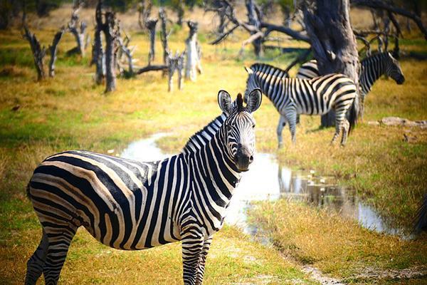 Zebras grazing together in the wilderness of Botswana