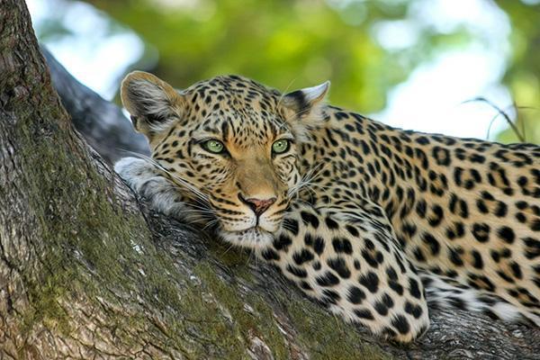 A leopard lounges in a tree in the Okavango Delta in Botswana