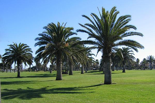Palm trees standing tall in the sun at Oxnard Beach Park in Oxnard, California