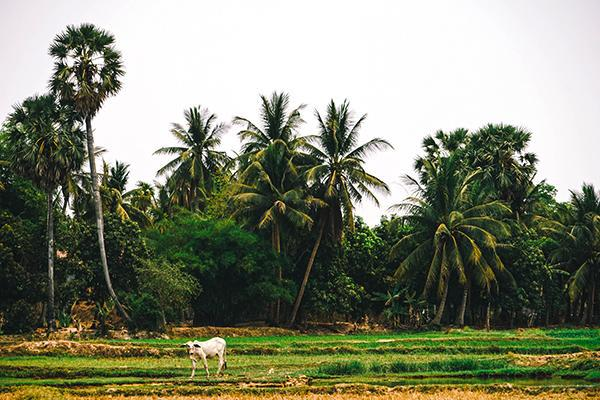 The lush greenery of the Cambodian countryside
