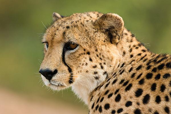 A cheetah looking pensive in Kruger National Park