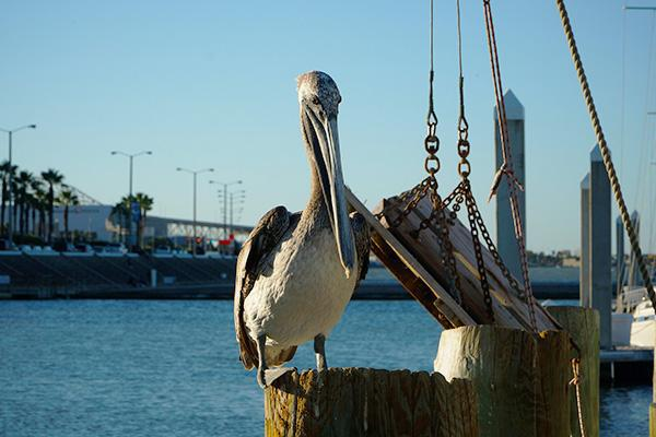 A pelican sits next to the waterfront in Corpus Christi, Texas