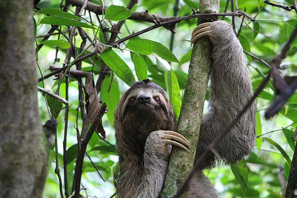 A three-toed sloth climbs a tree in a Costa Rican jungle