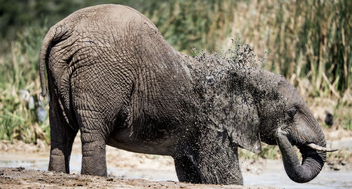 Elephant taking a mud bath