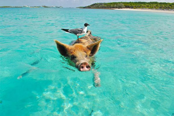 Step onto the white-sand beaches of the Exumas to see the swimming pigs.