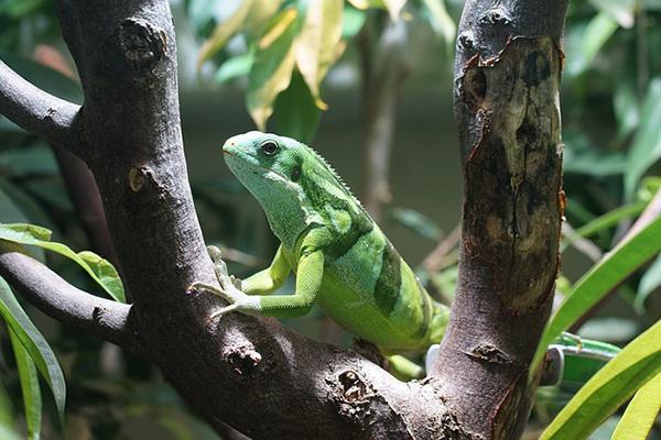 A Fiji banded iguana matches its green surroundings in tropical Fiji