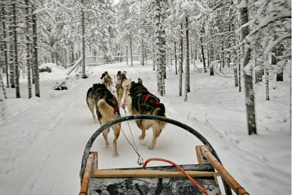 Dog sledding is popular in Rovaniemi