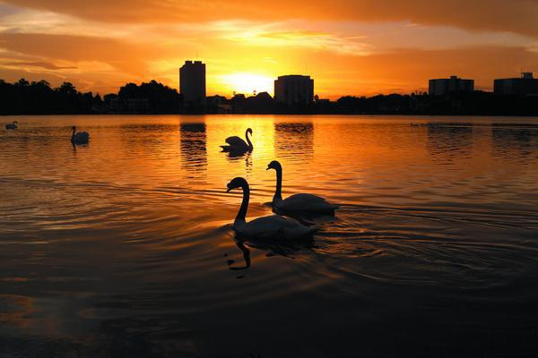 Swans glide gracefully on the waters in front of Lakeland, Florida at sunset