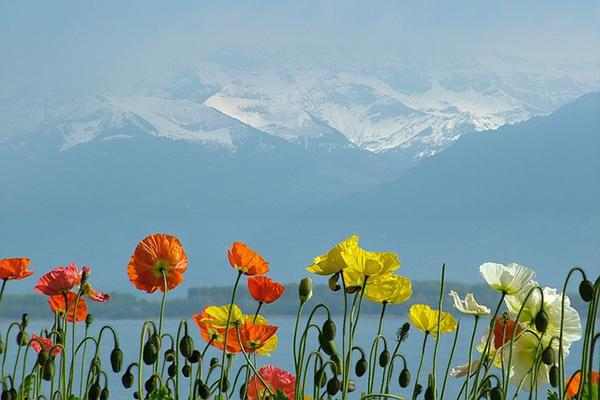 Poppies in the foreground with Lake Geneva and mountains looming behind