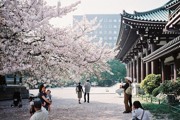 blossoms and a temple in Fukuoka