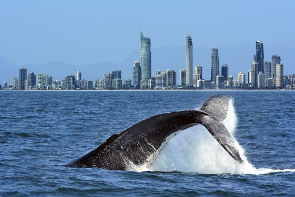 If you're lucky, you might catch sight of a whale off the Gold Coast.