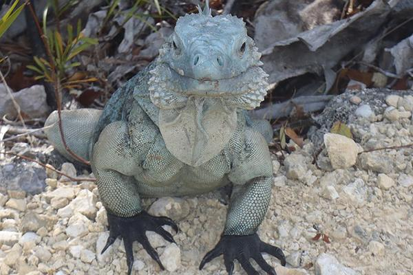 A giant blue iguana stares into the camera in Grand Cayman