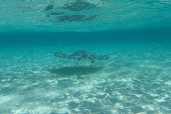 A stingray glides through the crystal clear waters of the Grand Cayman islands