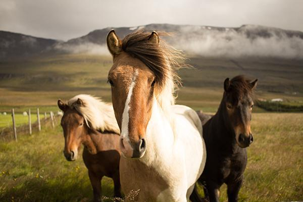 Icelandic ponies stand staring at the camera in a remote filed in Iceland