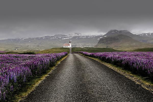 Beautiful purple flowers line a narrow road leading to a church in the remote reaches of Iceland