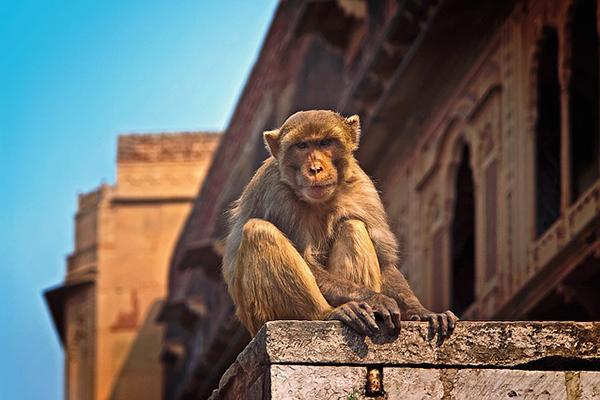 Vrindavan Wild Monkey sitting on a stone structure in India