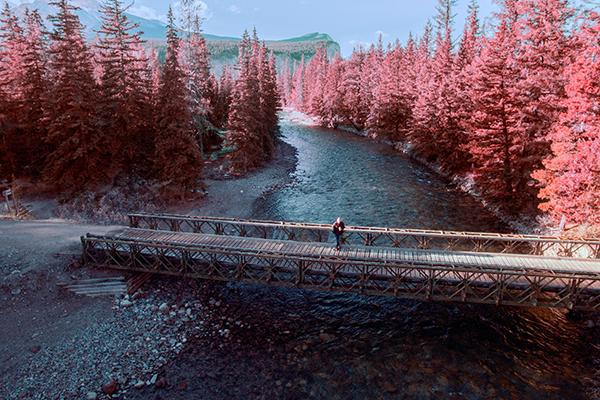 A lone traveller stands on a wooden bridge which sits over a stream lined with pink-coloured pine trees in Jasper, Alberta