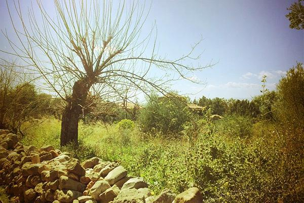 An olive tree in the countryside of Kalamata, Greece