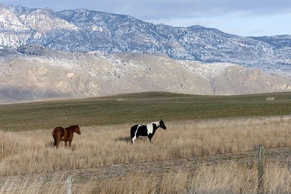 Horses roam the rolling hills of Kamloops, British Columbia