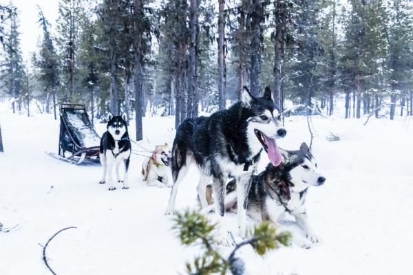 Dog sledding is a popular activity in wintry Kiruna